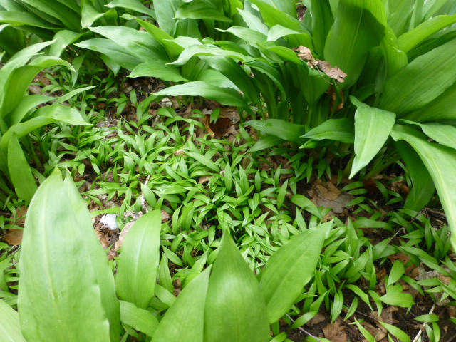 Frøplanter - ramsløg