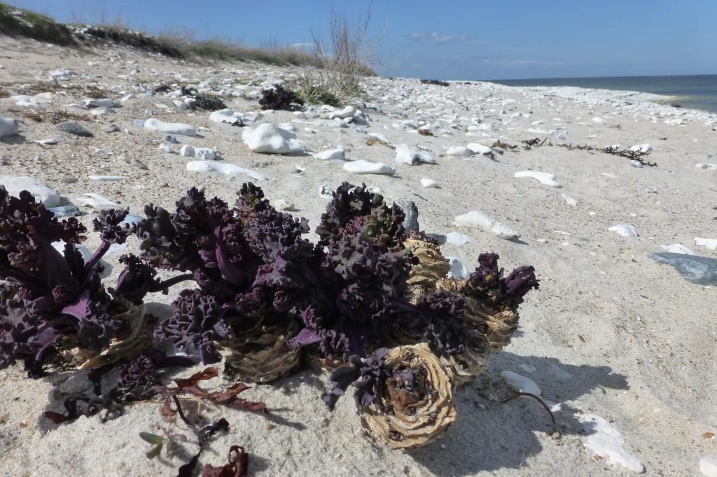 Strandkål, primo maj