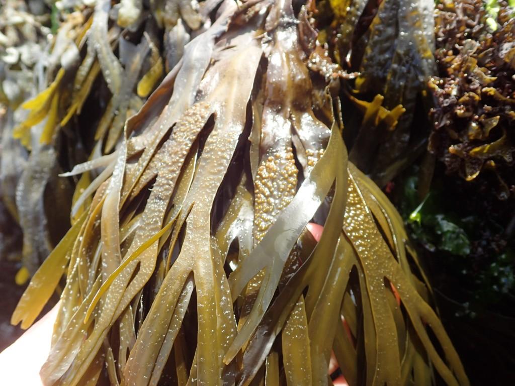 Hybrid af savtang og langfrugtet klørtang? Fertil og med små ægte brunalgehår.